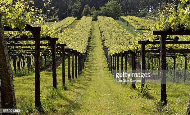 Albarino grape vineyard