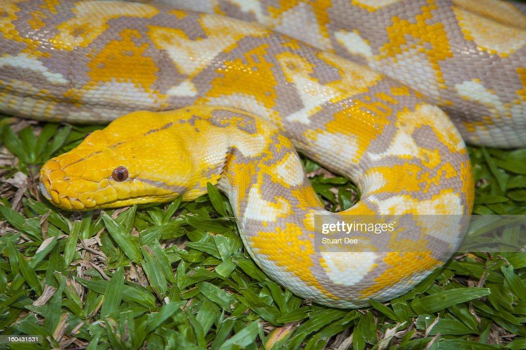 Albino Burmese Python : Stock Photo
