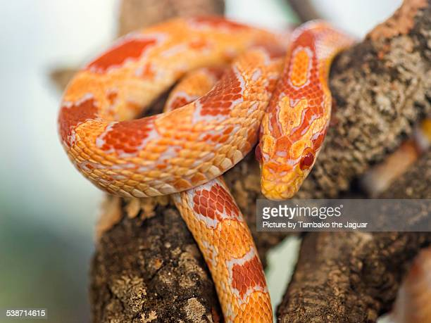 Albino corn snake on branch