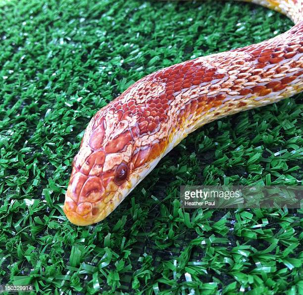 Albino corn snake or red albino rat snake