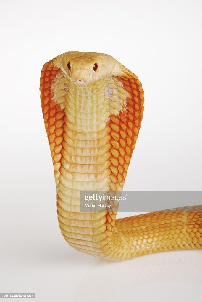 Albino Monocle Cobra (Naja kaouthia) on white background : Stock Photo