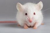 Albino mouse pose