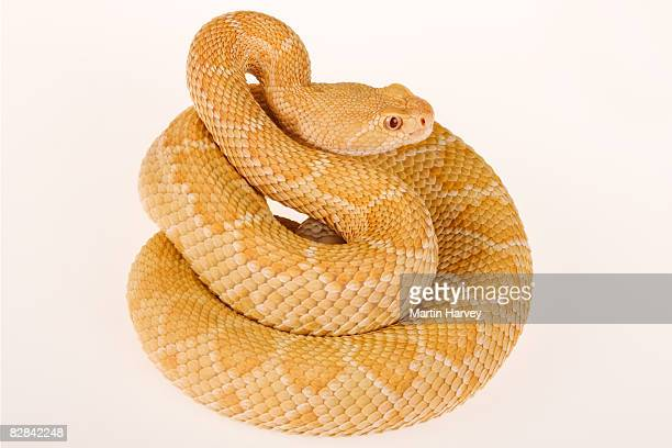 Albino Western diamondback rattlesnake.