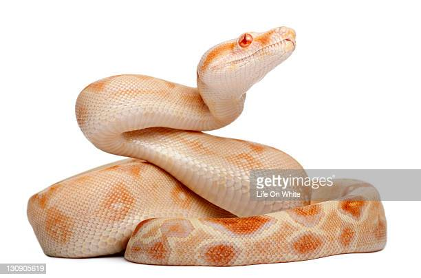 Albinos Boa constrictor (2 months old)