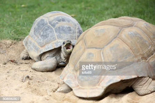 Aldabra giant tortoise, Aldabrachelys gigantea : Stock Photo