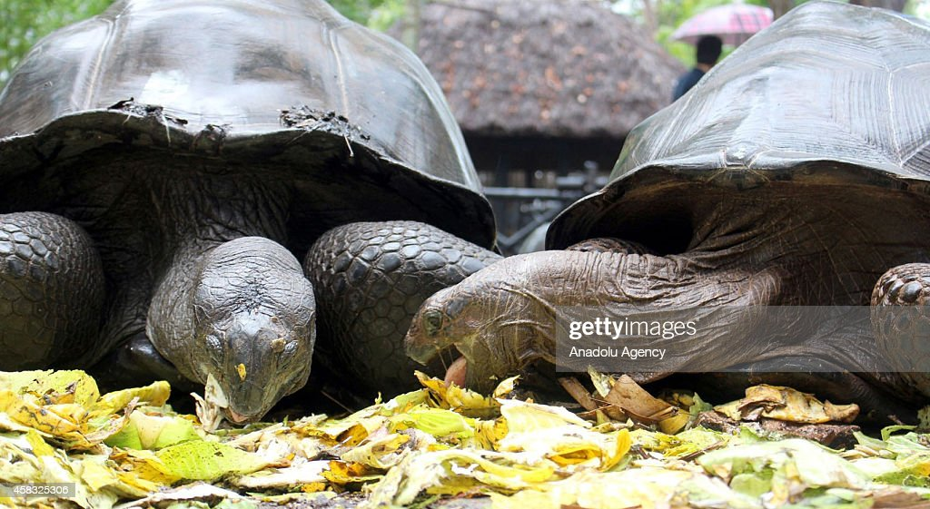 Aldabra giant tortoises with a life span changing between 100 and 200 years live under high protection programme on the Prison Island which was once...