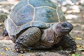 Aldabra giant turtle. Prison Island, Zanzibar, Tanzania.
