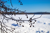 Alder tree branches in winter. Close-up photo with selective focus
