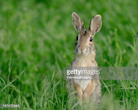 Alert and Curious Rabbit