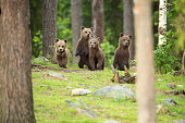 Four alert bear cubs together. Finland