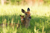 A Doe and her fawn lying in the meadow.