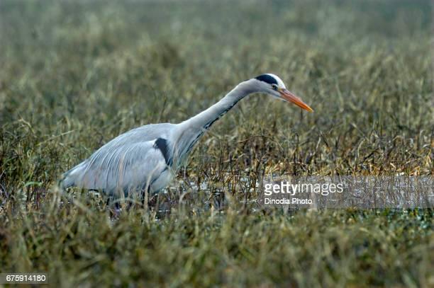 Alert grey herons, keoladeo ghana national park, bharatpur, rajasthan, india, asia
