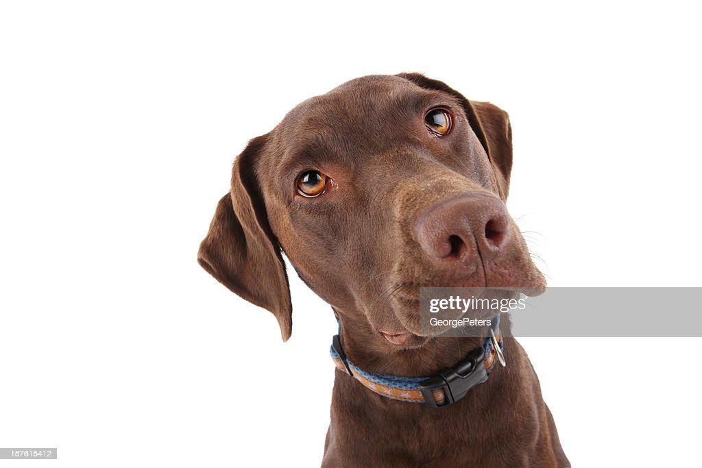 Alert Labrador Retriever