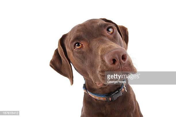 Avviso Labrador Retriever