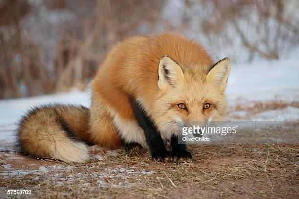 Alert Red Fox.