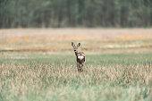 Alert roe deer doe in field looking backwards.