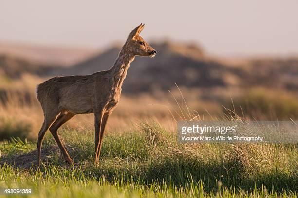 Alert roe deer doe