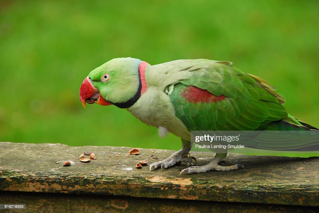 Alexandrine Parakeet Eating frome some nuts. : Photo