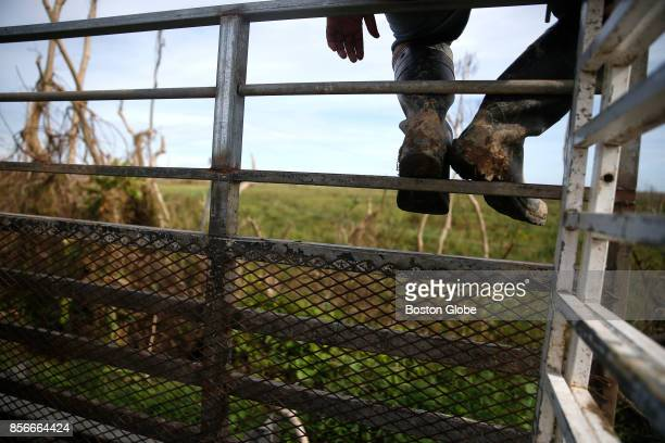 Alexi Crepo sits and keeps an eye on a pair of cows that were displaced in the storm as his coworkers try to track them down in Arecibo Puerto Rico...