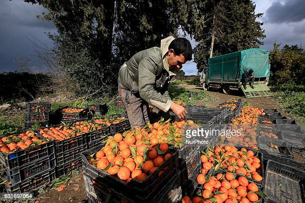 Algerian worker collects oranges at a farm on January 14 in Boufarik in Algeria Boufarik in the plain of Mitidja is the quotcity of Orangesquot...