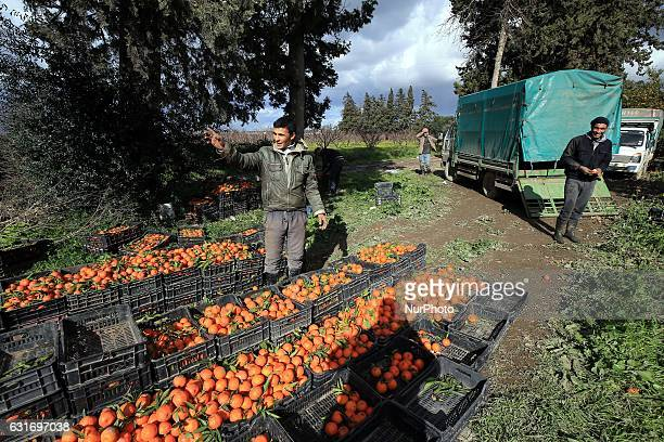 Algerian workers collect oranges at a farm on January 14 in Boufarik in Algeria Boufarik in the plain of Mitidja is the quotcity of Orangesquot...