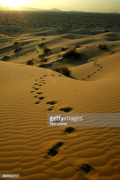 5802––Algodones Dunes Ca–– Footprints lead into the Algodones Dunes located east of El Centro in Imperial County Ca Currently about fifty percent of...