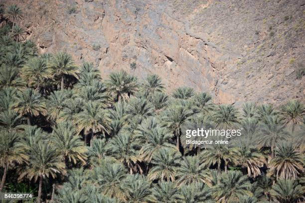 Alhamra Is One of Many Interesting Oases With An Old Mucky Part With Red Houses on Stone Foundations Here The Palm Garden In The District of Misfah...