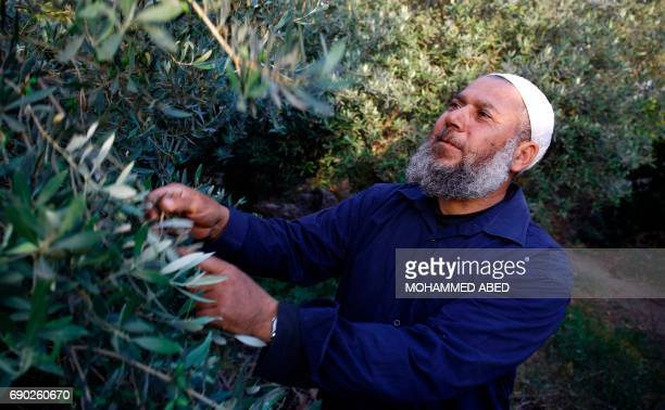 Ali Ishtiwi a 55yearold Palestinian holds a tree branch as he gives an interview with AFP in his garden in Gaza City on May 30 2017 Fifty years since...