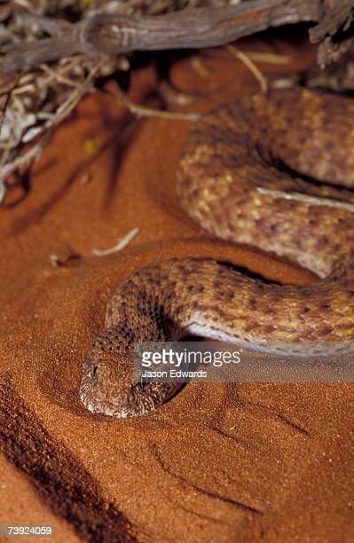 A Desert Death Adder stalking prey on a red desert sand dune.