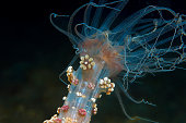 A spectacular alicia mirabilis captured in photos in the sea at night