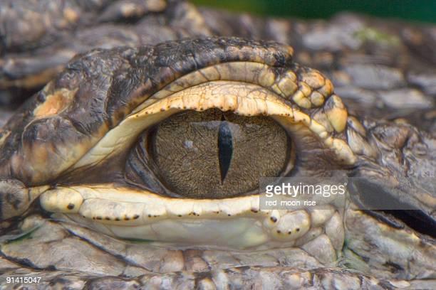 Aligator yeux