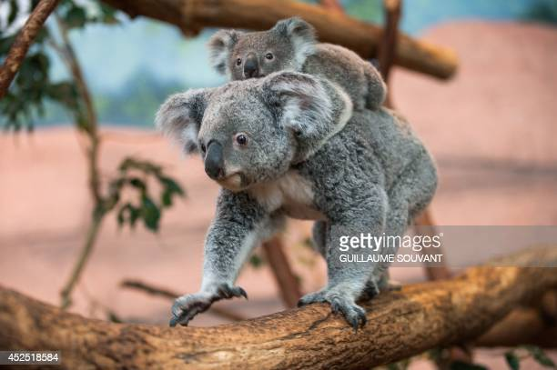 Alinga the female koala which was born on October 19 2013 and left her mother's pouch in May 2014 rides on her mother's back in the Zoo parc of...
