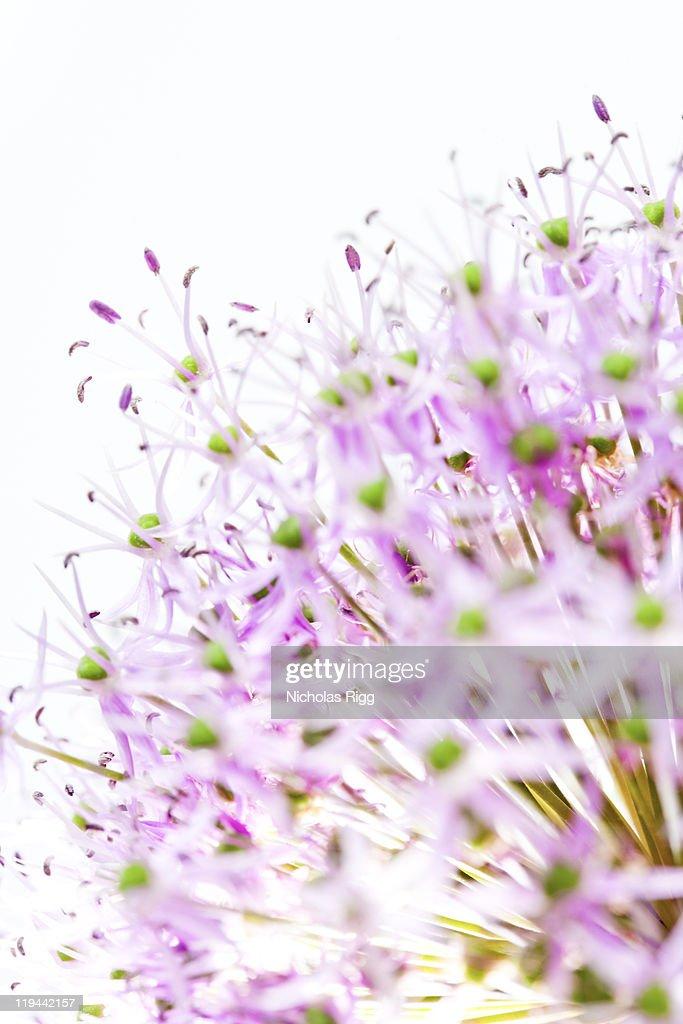 Alium flower head : Stock Photo