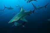 Aliwal Shoal, Indian Ocean, South Africa, blacktip sharks (Carcharhinus limbatus) swimming in ocean