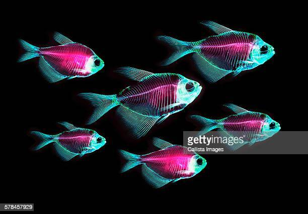 Alizarin red bone stain anatomical fish skeleton preparation of a white finned tetra