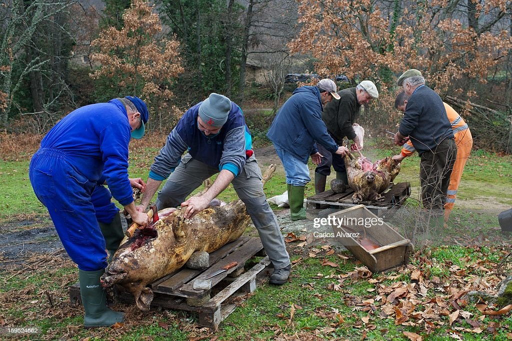 All intestines and entrails are removed on January 11, 2013 in Hervas, Spain. It is a very common custom in Spanish villages for families to breed one or several pigs to later sacrifice them during the cold months in order to have a supply of meat and cold cuts for the rest of the year.