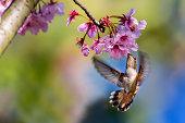 Allen's Hummingbird On Cherry Blossoms