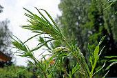 Allergiepflanze Ambrosia artemisiifolia auch BeifussAmbrosie Beifussblaettriges Traubenkraut Aufrechtes Traubenkraut Fetzenkraut oder Wilder Hanf...