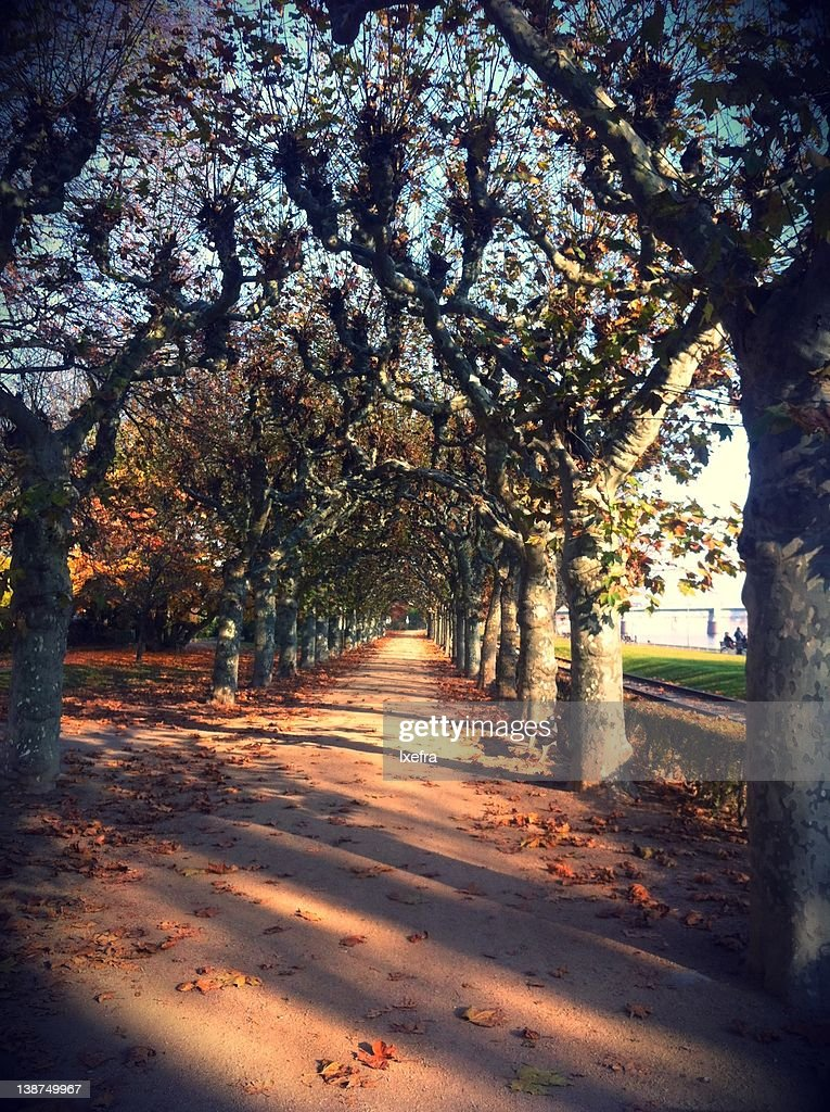 Alley between trees : Stock Photo