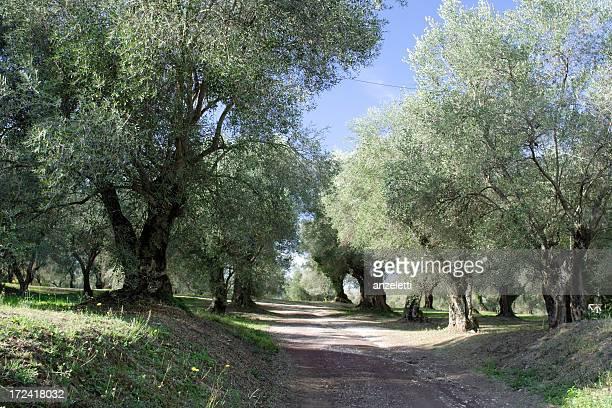 Alley Olivenbäumen