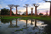 Alley of the Baobabs, Madagascar: baobabs reflected in a pond at dusk - Adansonia grandidieri - photo by M.Torres