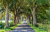 alley with old oak trees in Usedom