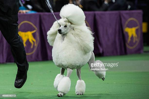Allie a Standard Poodle competes in the Best in Show category in the Westminster Dog Show on February 11 2014 in New York City Allie went on to win...