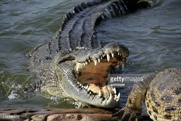 Alligator über zu Snack
