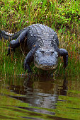 Alligator at Florida Swamp