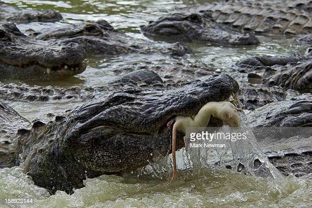 Alligator catching a rat