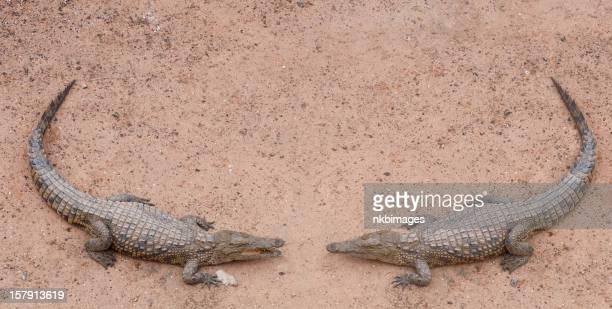 Alligator conversation