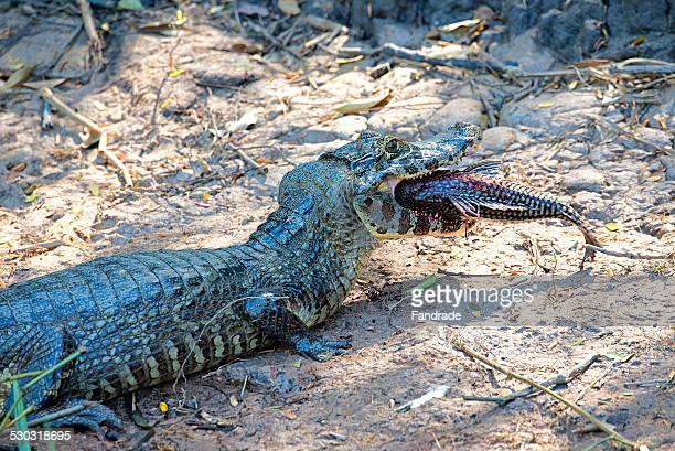 Alligator eating a fish Pantanal Brazil
