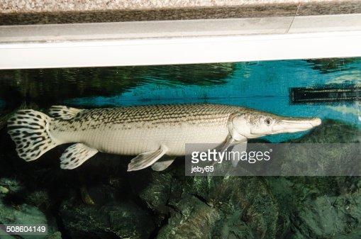 Alligator Gar in Aquarium : Stock Photo