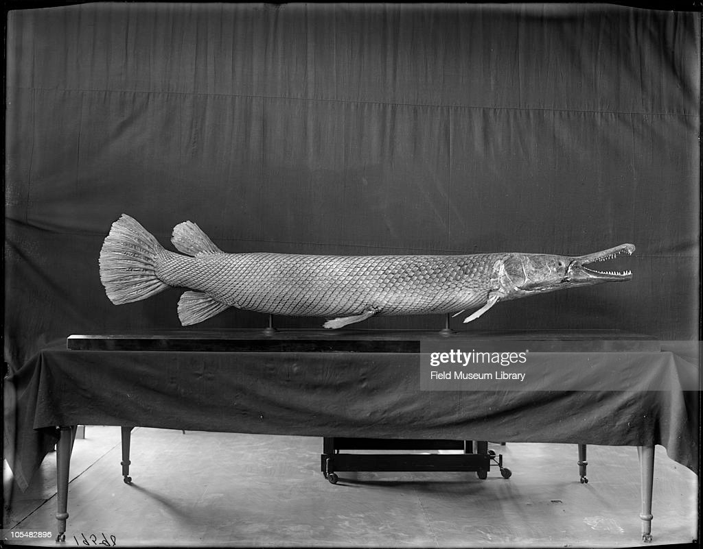 Field museum library getty images for Places that sell fish near me